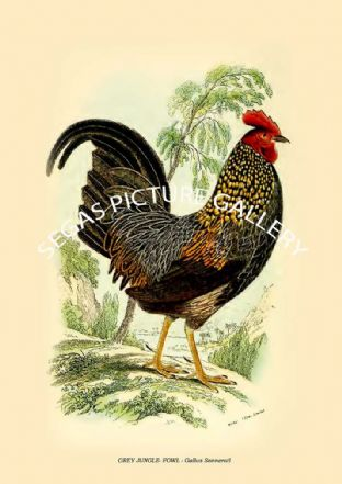 GREY JUNGLE- FOWL - Gallus Sonneratl